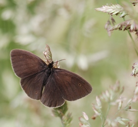 A Ringlet butterfly (c) Ross Newham