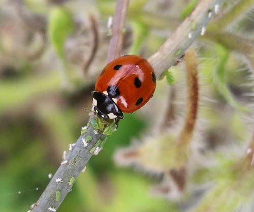 7-spot ladybird Photo: Helen Roy