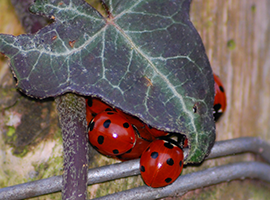 7-spot ladybirds overwintering under leaves
