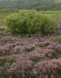 Heather on Rannoch Moor in Scotland, photo c. NERC