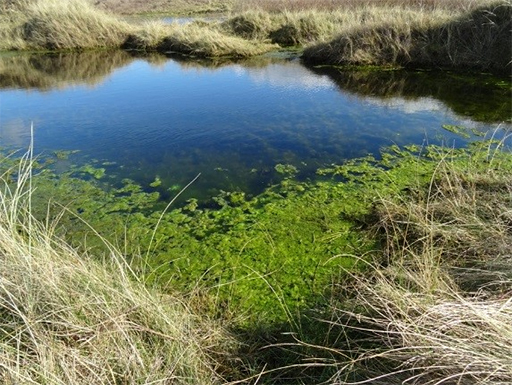Algal growth caused by high nitrate levels in a dune slack at Aberffraw