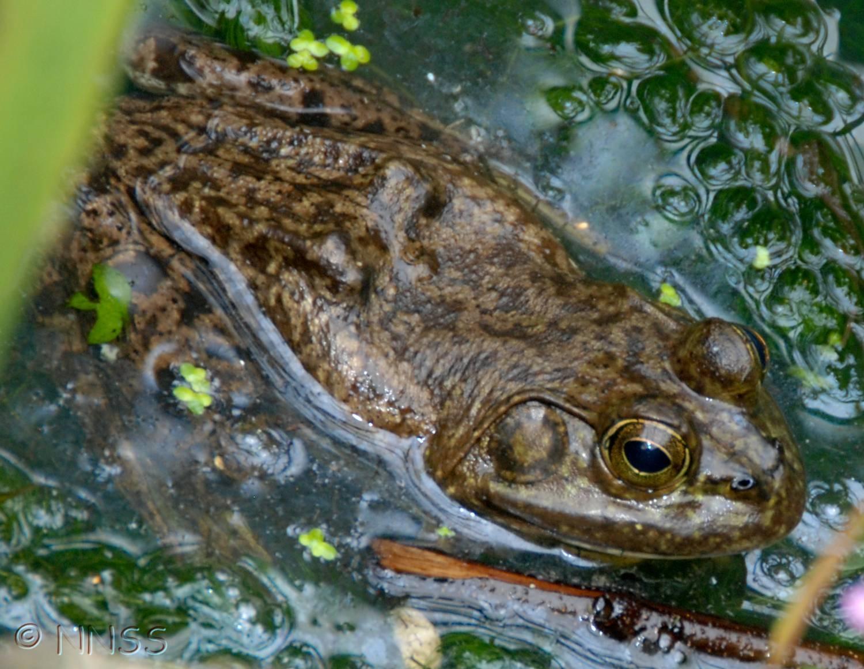 American Bullfrog  © GBNNS (Crown Copyright)