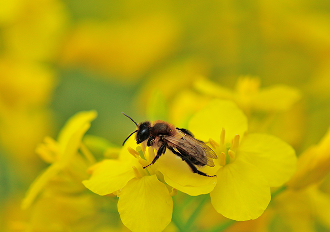 Solitary bee Andrena nigroaenea on oilseed rape photo by Lucy Hulmes