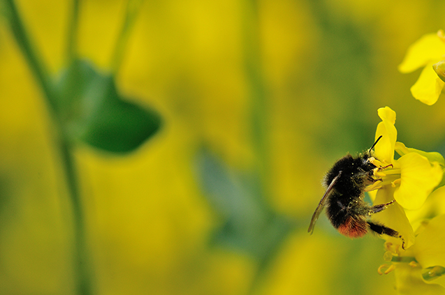 Bombus lapidarius on oilseed rape, photo by Lucy Hulmes
