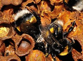 Bombus terrestris bumblebees in a hive