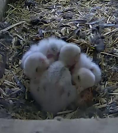 Three kestrel chicks huddled together sleeping