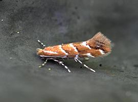Cameraria orhidella, horse-chestnut leaf-miner moth