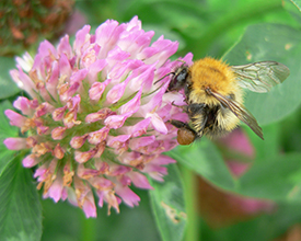 Bombus pascuorum, Common carder bee, foraging at red clover
