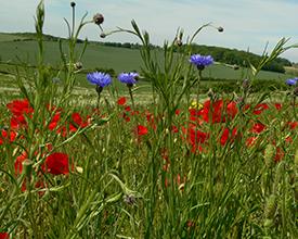 Annual flower mix on farmland