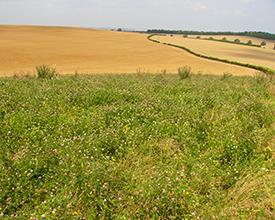 Nectar flower mix on arable farmland