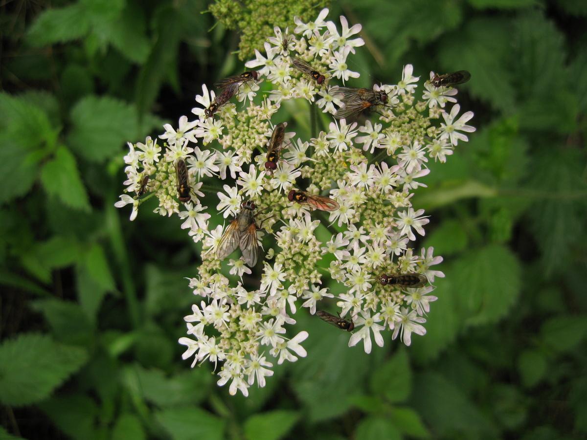 Flies on Hogweed flowers