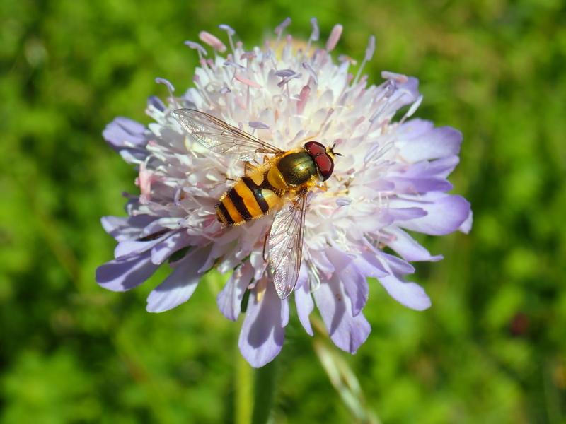 Hoverfly Epistrophe grossulariae