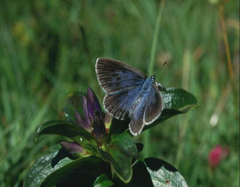 Female M Rebeli on gentian plant