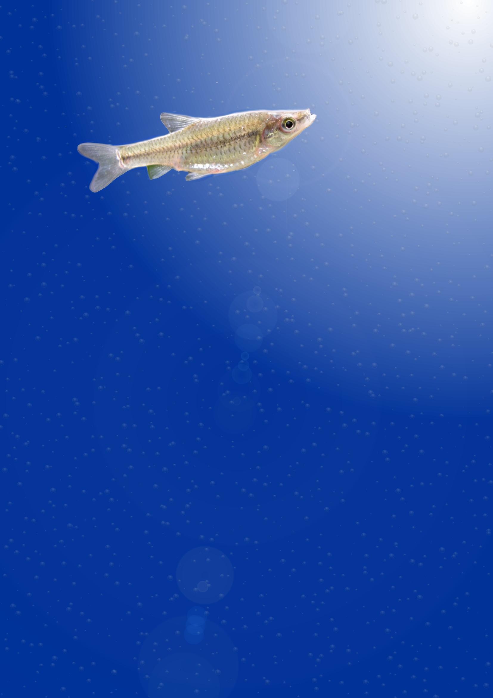 Gozlan fish