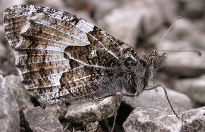 Grayling butterfly at rest showing underside of wings