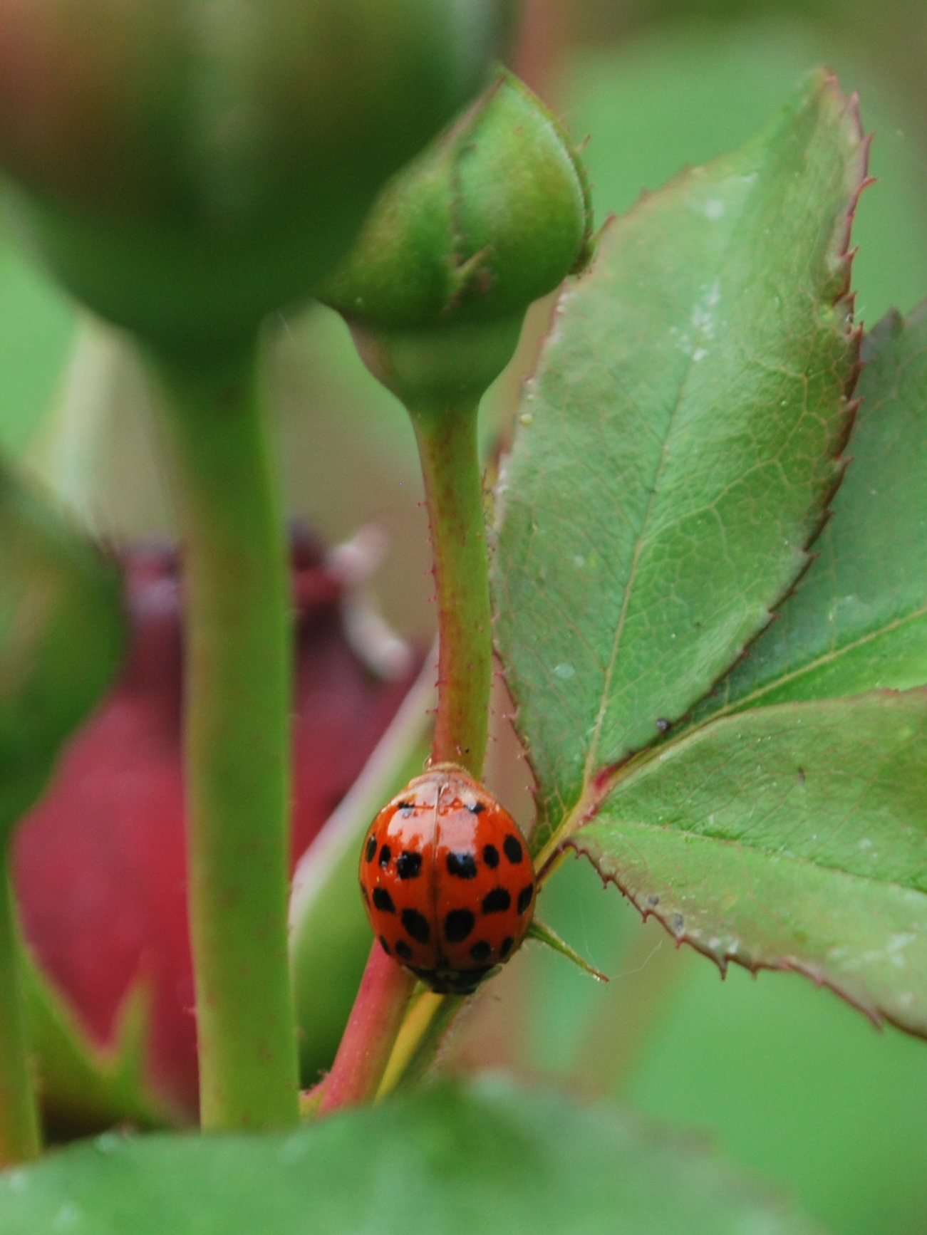 A Harlequin ladybird. Photo Barnaby Smith