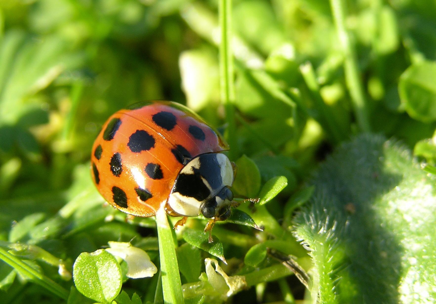 Harlequin ladybird Photo: Jon White