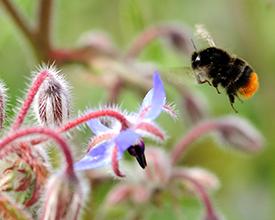 Bombus lapidarius, Red tailed bumblebee, foraging at borage