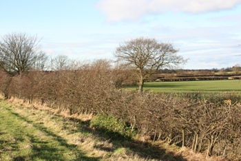 A typical English Hedgerow