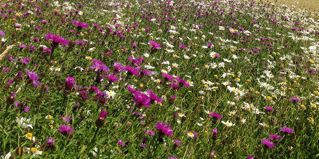 Wildlflowers including oxeye daisy and knapweed