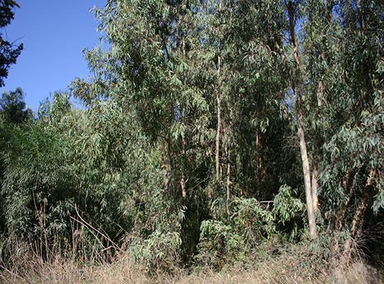 Akrotiri forest