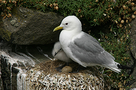 Kittiwake and chick on a nest