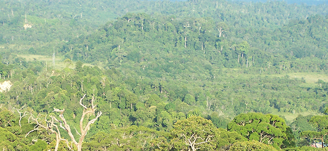 Trees in Lambir Hills National Park on Borneo