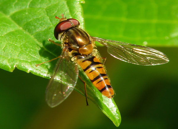 The Marmalade hoverfly is one of the 5 insects we're focusing on at this year's stand.
