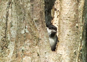 Marsh tit bird emerging from nest in tree cavity