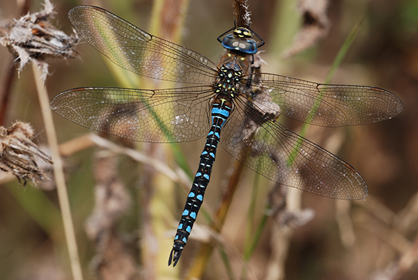 Migrant hawker photo: Ross Newham