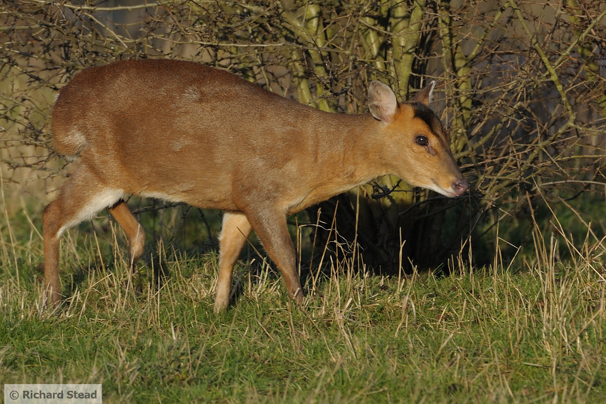 Muntjac deer (photo by Richard Stead)
