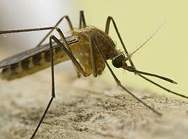 Mosquito Photo: iStock