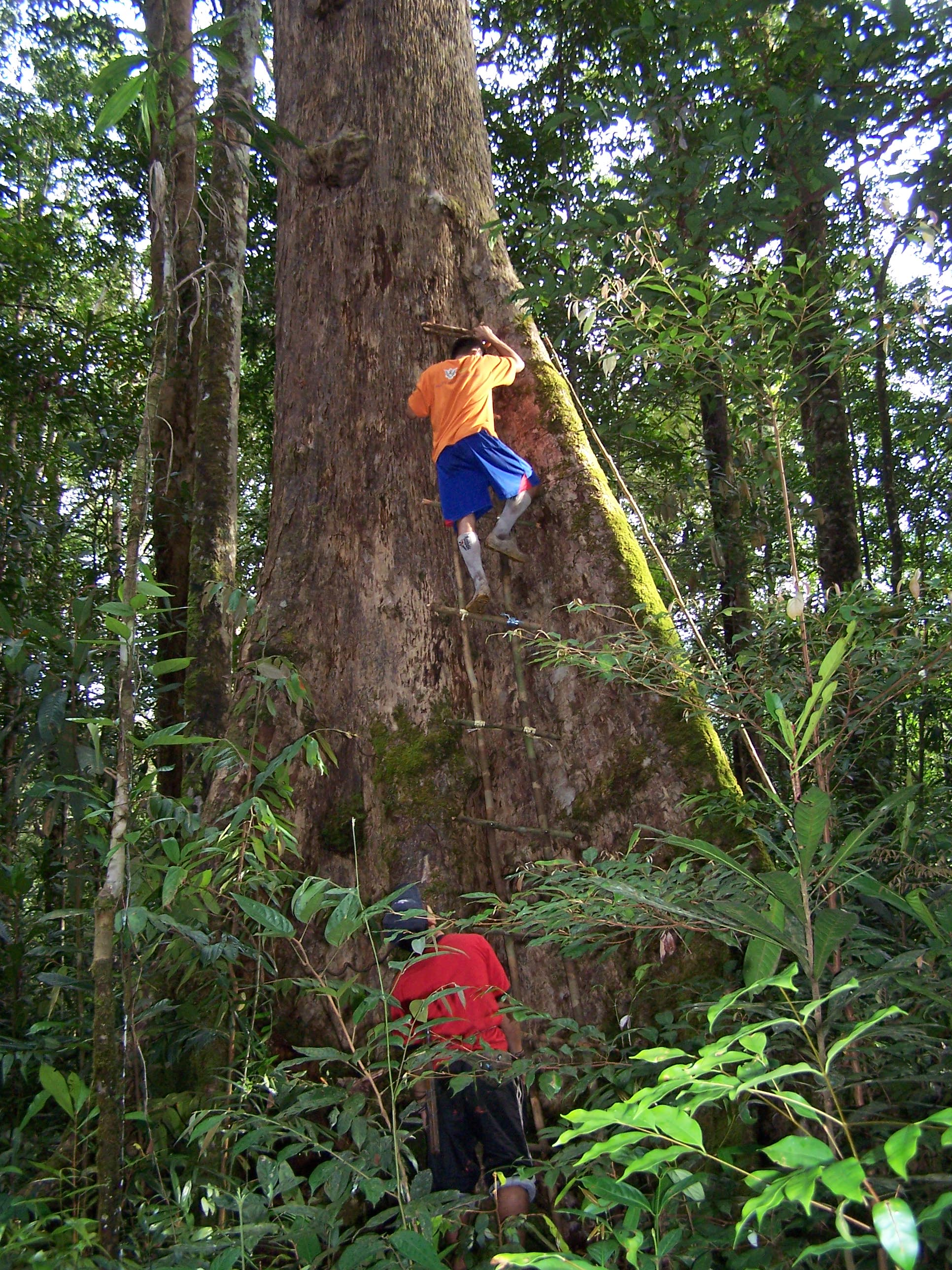 A dipterocarps tree in Sarawak, a researcher climbing up the side. (c) Lindsay Banin