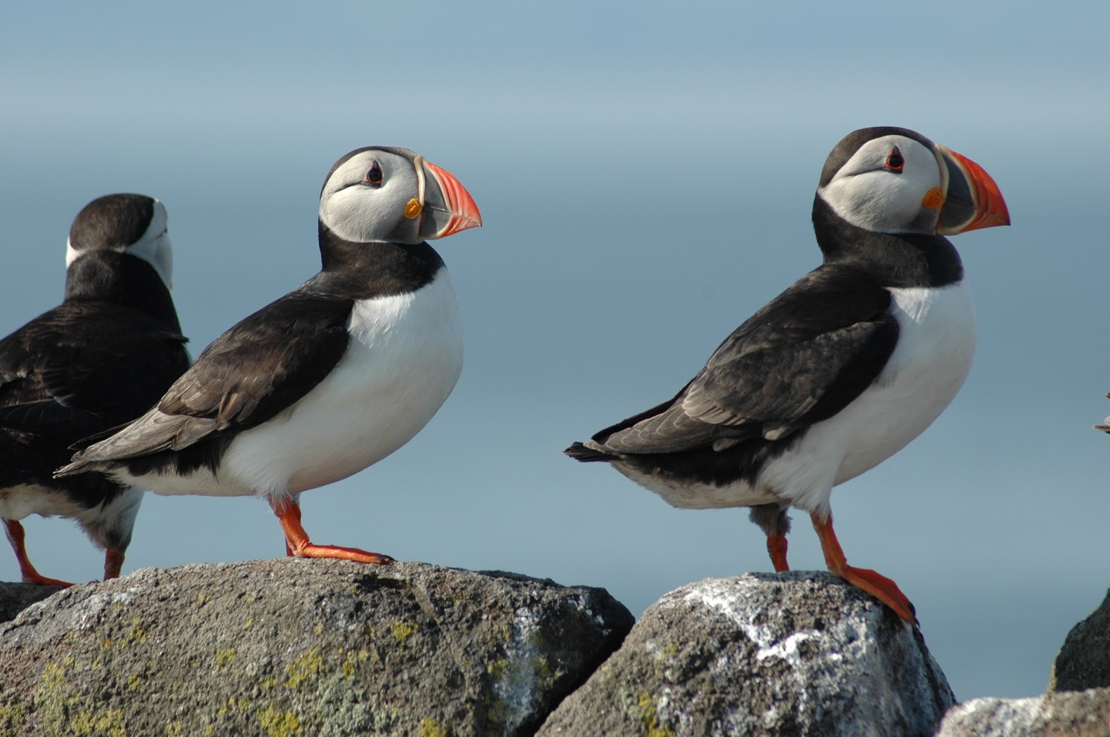 Puffins on the Isle of May (photo: Akinori Takahashi)