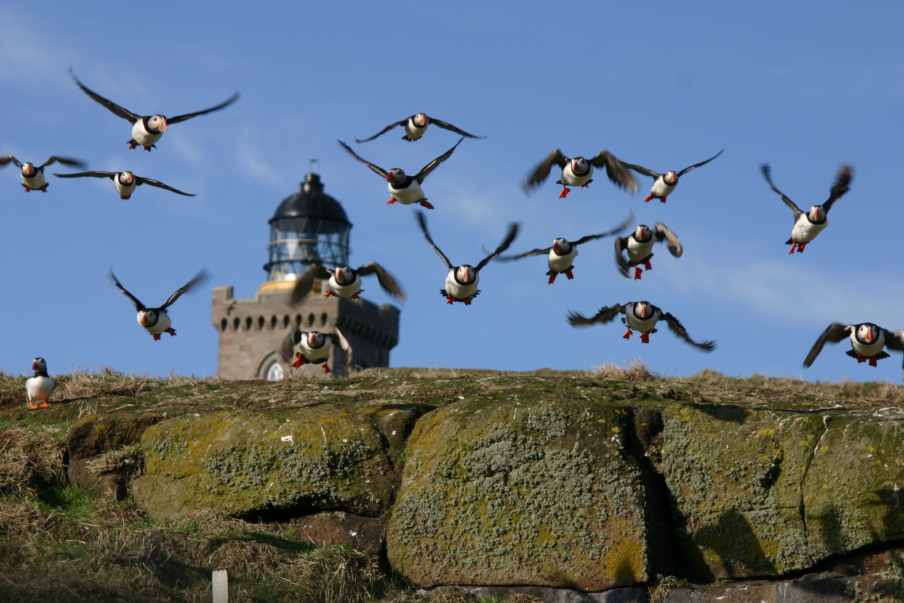Puffins in flight by a lighthouse