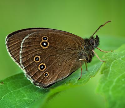 Ringlet butterfly (Photo: Shutterstock)