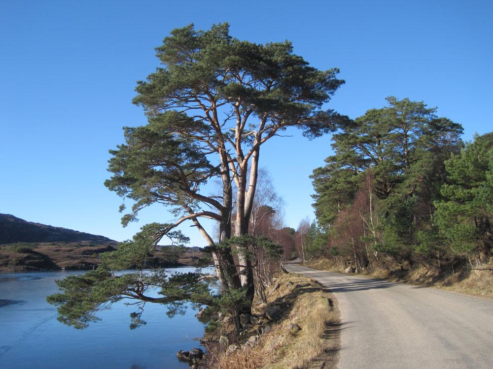 A Scots Pine tree at Sheildaig in Scotland photo: Stephen Cavers/CEH
