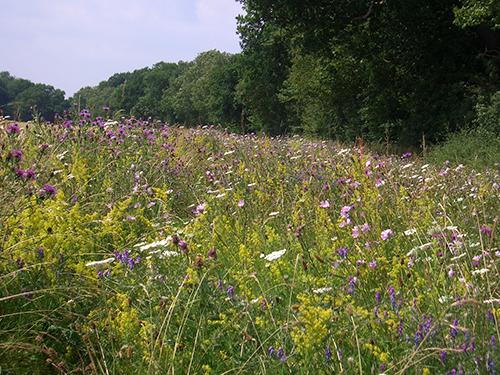 Flowers in a field margin