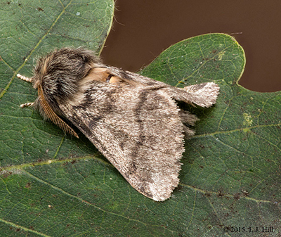 Adult oak processionary moth