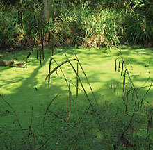 Algae on a river