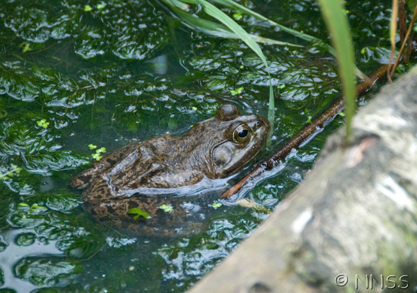 American bullfrog, a non-native species in the UK