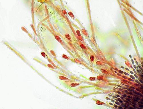 Balbiania investiens species of algae. Photo: Dr Chris Carter