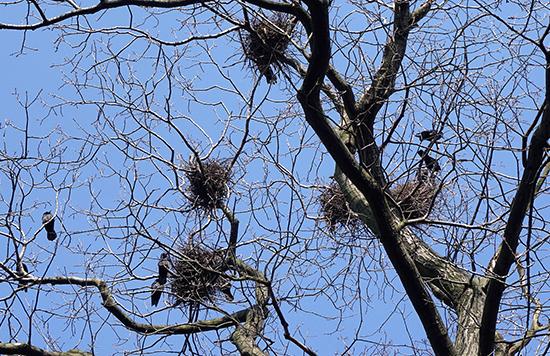 Rooks building nests