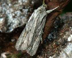 A blair shoulder-knot moth