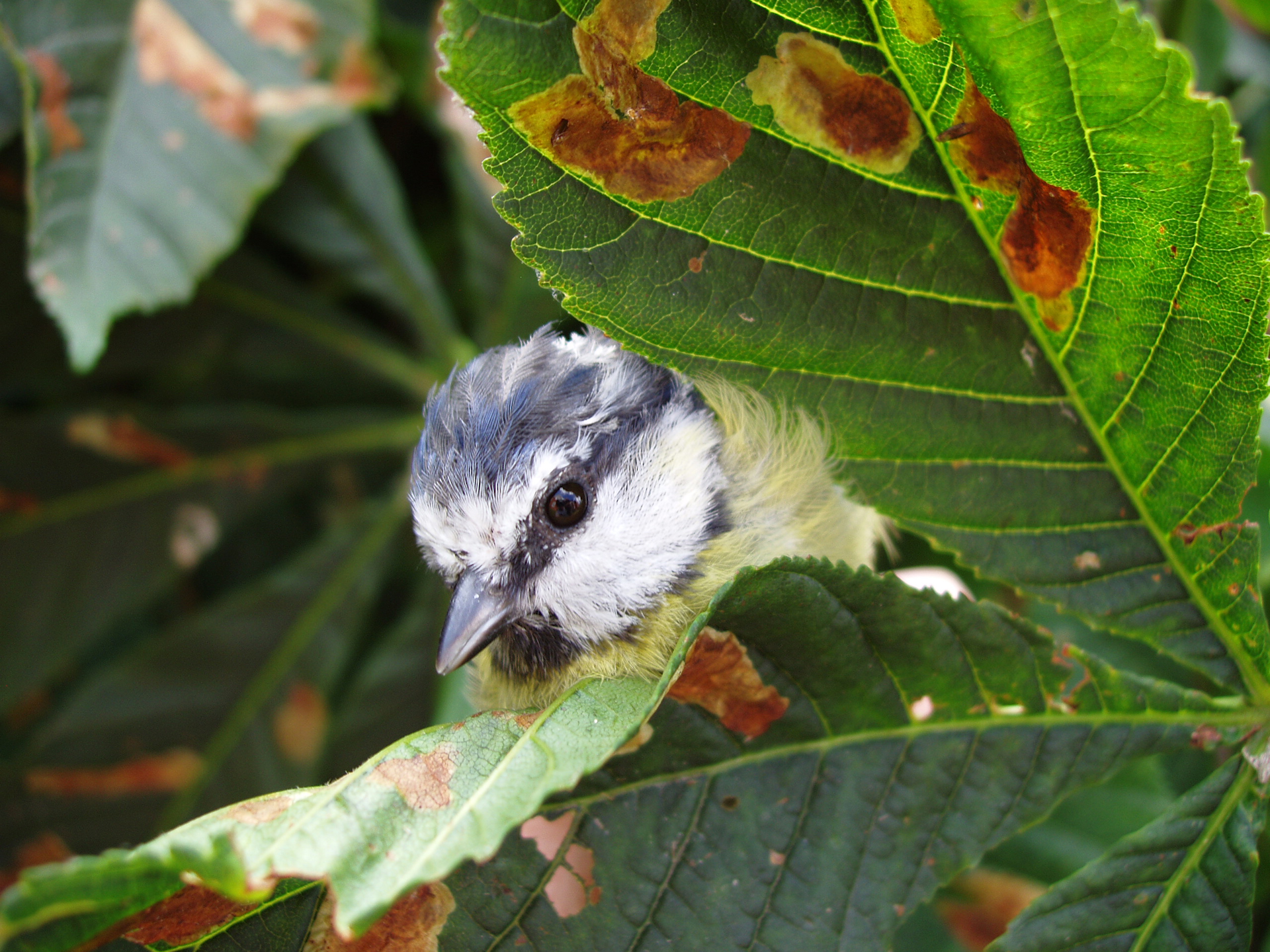 A blue tit among horse-chestnut leaves that are covered with  brown patches of damage caused by caterpillars  of the leaf mining moths. Photo: Richard Broughton/CEH
