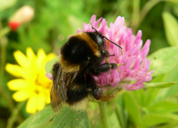 A queen Bombus ruderatus, the nationally rare bumblebee species  featuring in the study, on Red clover sown in an agri-environment  scheme flower mixture.
