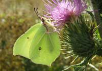 Brimstone Butterfly  Image provided by Ben Carpenter