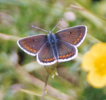 The Brown Argus (Aricia agestis) has more stable populations in rugged landscapes