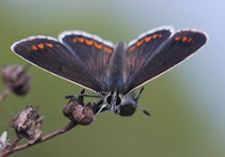 Brown Argus butterfly (Photo by Ross Newham)
