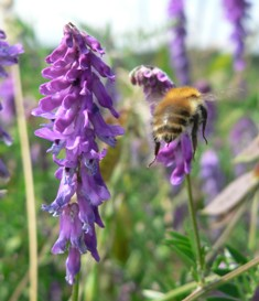 Bumblebee and wildflowers (c) Claire Carvell, CEH